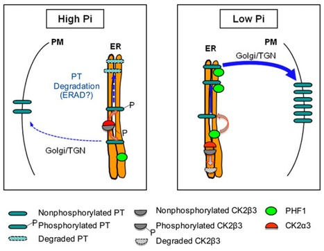Tha Plant Cell: The Rice CK2 Kinase Regulates Trafficking of Phosphate Transporters in Response to Phosphate Levels | Plant nutrition & stress | Scoop.it