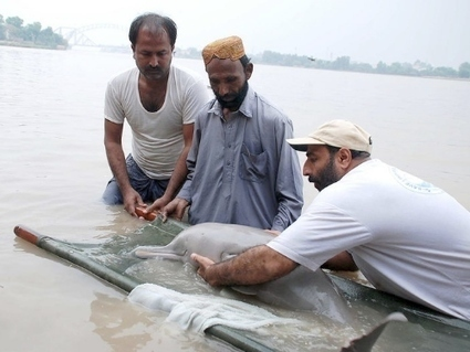Blind Indus Dolphin | Rohri | Scoop.it