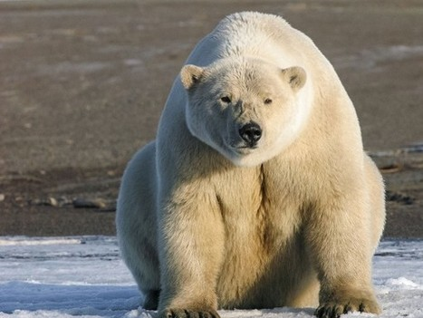 Huge #dataGaps cloud #fate of #Arctic #mammals 'little known abt many populations!' | Rescue our Ocean's & it's species from Man's Pollution! | Scoop.it