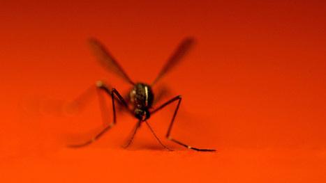 Risque d'épidémie de chikungunya dans le sud de la France | EntomoNews | Scoop.it