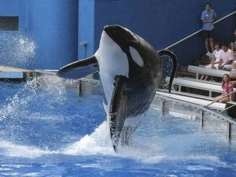 Our treatment of #Orca underscores an extraordinary #disconnection from the #Sea | Rescue our Ocean's & it's species from Man's Pollution! | Scoop.it