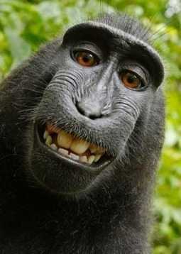 Monkey can't own copyright on selfie, US court rules | Copyright news and views from around the world | Scoop.it