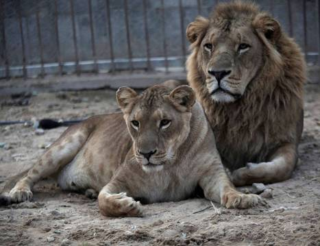 Lions face extinction threat in West Africa - The Independent   NGOs in Human Rights, Peace and Development   Scoop.it