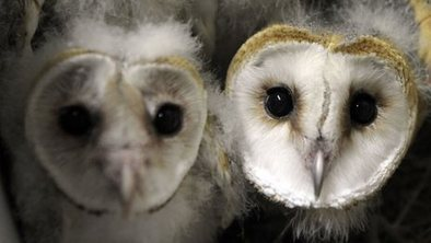 Trust's fear for poisoned barn owls | British wildlife | Scoop.it