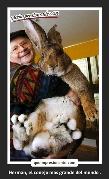 Conoce al conejo mas grande del mundo