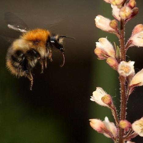 Pourquoi les plantes à fleurs considèrent les bourdons comme des bandits ? | pour mon jardin | Scoop.it