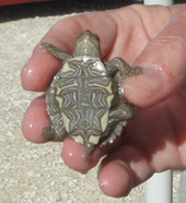 Salmonella Illnesses From Illegal, Tiny Pet Turtles Continue - Food Poisoning Bulletin   Turtle Conservation News for KTCS   Scoop.it