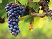 Une innovation disruptive pour une viticulture plus durable | Le Vin et + encore | Scoop.it