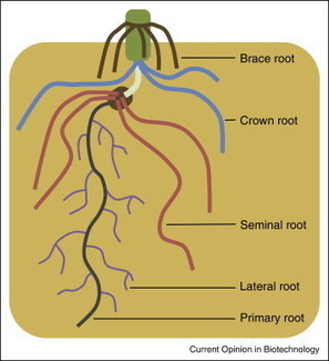 Regulation of plant root system architecture: implications for crop advancement | Plant Gene Seeker -PGS | Scoop.it