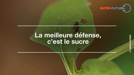 La meilleure défense, c'est le sucre - ARTE Future | EntomoScience | Scoop.it