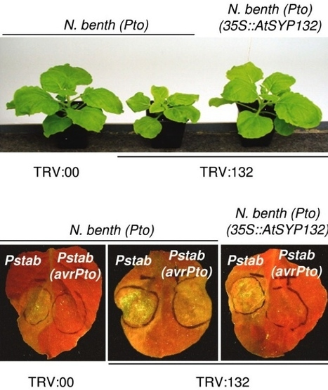 PNAS: The syntaxin SYP132 contributes to plant resistance against bacteria and secretion of pathogenesis-related protein 1 (2007) | research on plant resistance gene for disease | Scoop.it