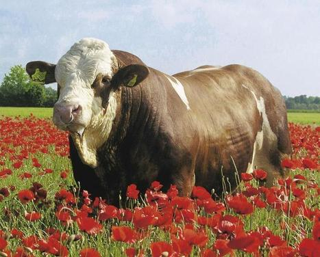 234 cattle genomes sequenced in Phase I of 1000 bull genomes project | leapmind | Scoop.it