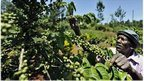 Climate threat to coffee crops | Bio { Cultural } Diversity | Scoop.it