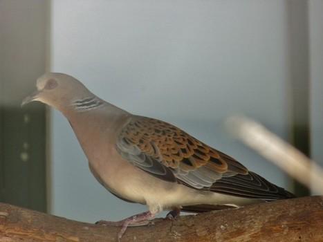 Photo d'oiseau: Tourterelle des bois - Streptopelia turtur | Fauna Free Pics - Public Domain - Photos gratuites d'animaux | Scoop.it