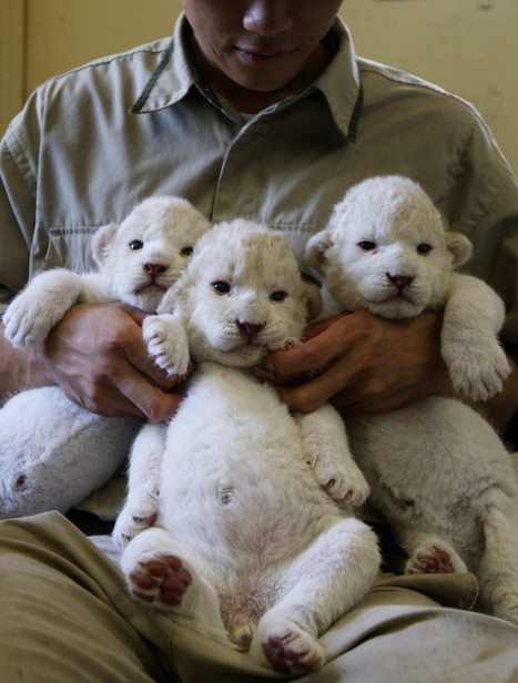 Japanese Zoo's White Lion Cubs Are So Cute They Look Like Lambs (PHOTOS) - Huffington Post | animals: the wild and the pet | Scoop.it