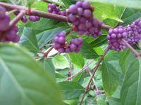 Beauty-berry: POD at Sewanee Herbarium | Herbaria | Scoop.it