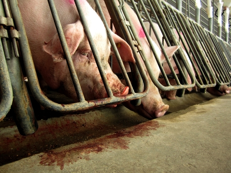 Pigs Without Space: Smithfield Foods and Its Broken Animal-Welfare Promises | BNET | Nature Animals humankind | Scoop.it