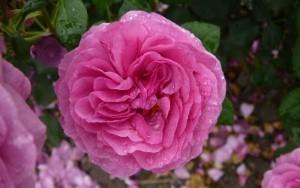 Rose to be named after Rowan designer Kaffe Fassett | Yarn, yarn, yarn! | Scoop.it