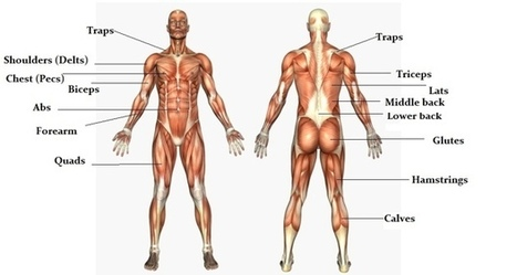 The massive muscle anatomy and body building guide you always wanted! | Bodybuilding News | Scoop.it
