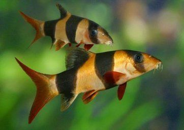 The A-Z of Fish Health, Part 1: A-E | Features | Practical Fishkeeping | Animal Management | Scoop.it