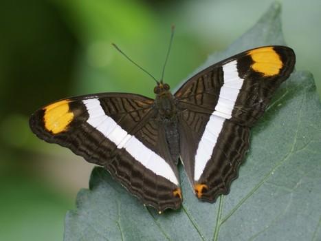 Photo de papillon exotique : Adelpha fessonia - Band-celled Sister - Mexican Sister | Fauna Free Pics - Public Domain - Photos gratuites d'animaux | Scoop.it