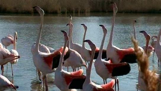 Les parades nuptiales des flamants roses débutent en Camargue | Les oiseaux au gré du vent