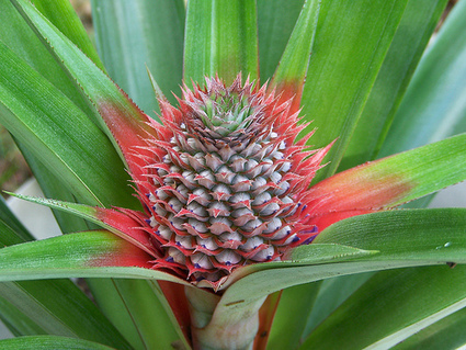 Math Book: The Magic of Pineapples | Teaching Maths | Scoop.it