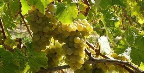 L'ascension des vins de Savoie | Winemak-in | Scoop.it