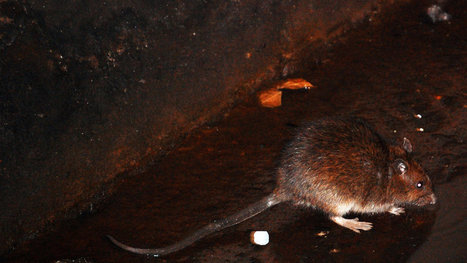 Rats! NYC rats infected with at least 18 new viruses, but no bubonic plague bacteria found | Amazing Science | Scoop.it