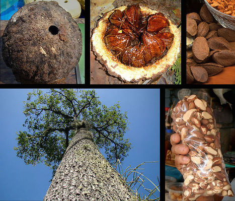 The Story of Brazil Nuts is Kind of Nuts - Modern Farmer | STEM Connections | Scoop.it