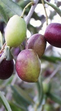 L'huile d'olive, une aide naturelle pour la santé des os | oléiculture | Scoop.it