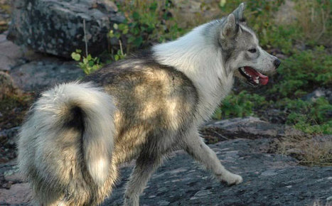 Asian origins of native American dogs confirmed   Anthropology, Archaeology, and History   Scoop.it