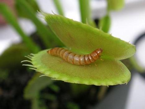 Study says mealworms may be best 'sustainable' protein   Entomophagy: Edible Insects and the Future of Food   Scoop.it