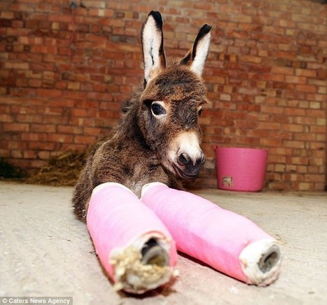 Not-so-wonky donkey walks for the first time after vets put pink casts on her legs | Hoofcare and Lameness | Scoop.it