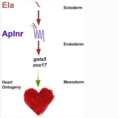 ELABELA (EL), a novel hormone essential for heart development discovered | Humans & Science | Scoop.it