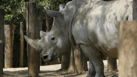 Espèces menacées. Il ne reste que 4 rhinocéros blancs dans le ... - Ouest-France | Education environnement | Scoop.it