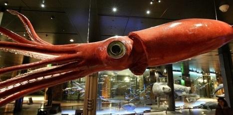 Le calmar fait les gros yeux aux cachalots | Merveilles - Marvels | Scoop.it