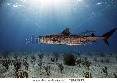 Tiger Shark Patrolling The Waters Of The Bahamas Stock Photo 78527992 : Shutterstock | dolfin | Scoop.it