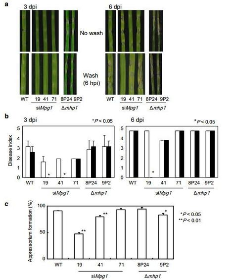 Novel aspects of hydrophobins in wheat isolate of Magnaporthe oryzae: Mpg1, but not Mhp1, is essential for adhesion and pathogenicity   Plant-Microbe Interaction   Scoop.it