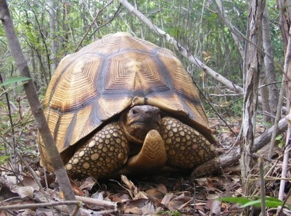 Tackling Trafficking in Critically Endangered Ploughshare Tortoises | Wildlife Trafficking: Who Does it? Allows it? | Scoop.it