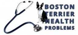 Health Problems of the Boston Terrier Dog Breed | Boston Terrier Dogs | Scoop.it