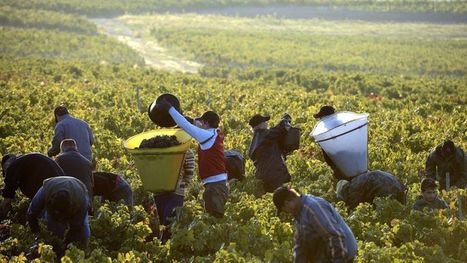 Vendanges 2013 : les prévisions de récolte revues à la baisse - Le Figaro | Vin et agroécologie | Scoop.it