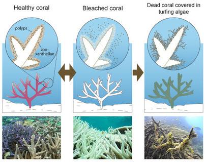 Coral bleaching - GBRMPA | GBR | Scoop.it