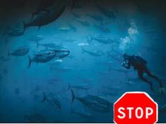 Le thon rouge disparaît-il vraiment de Méditerranée ? | Economie Responsable et Consommation Collaborative | Scoop.it