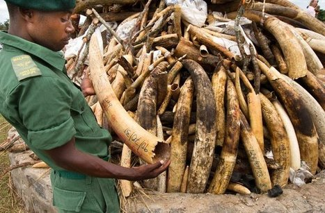 Malawi Burns 2.9 Tons of Smuggled Ivory  | Wildlife Trafficking: Who Does it? Allows it? | Scoop.it