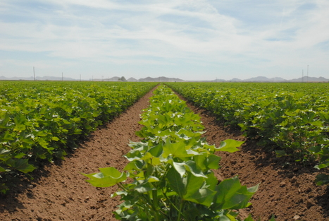 Cotton Cultivation: There's An App For That | KJZZ  (Radio-Tempe) | CALS in the News | Scoop.it