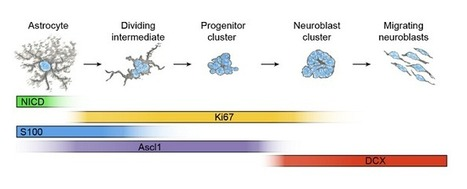 Astrocytic mechanism that repairs brain after stroke discovered. | Social Neuroscience Advances | Scoop.it
