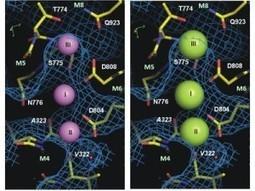International Research Collaboration Reveals the Mechanism of the Sodium-Potassium Pump   Social Neuroscience Advances   Scoop.it