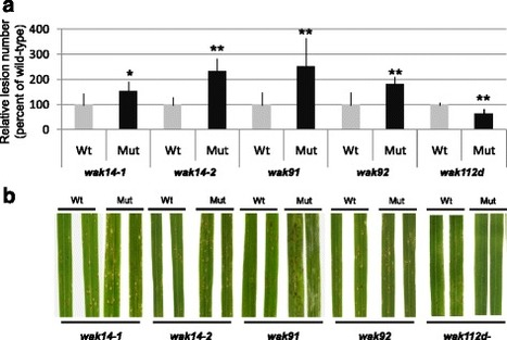 Several wall-associated kinases participate positively and negatively in basal defense against rice blast fungus | Rice Blast | Scoop.it