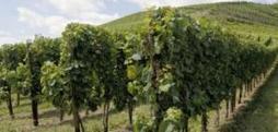 Plan de lutte contre le dépérissement du vignoble | Le Vin et + encore | Scoop.it